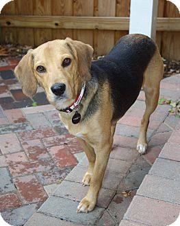 Beagle Dog for adoption in Portland, Oregon - Eva