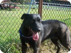 Labrador Retriever Mix Dog for adoption in Midlothian, Virginia - Molly (SENIOR)