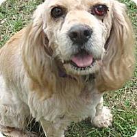 Adopt A Pet :: Brownie - Sugarland, TX