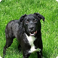 Adopt A Pet :: Spalding ADOPTED!! - Antioch, IL