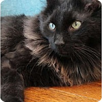 Adopt A Pet :: Rum Tum Tugger - Chicago, IL