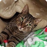 Adopt A Pet :: Bella - Germantown, MD