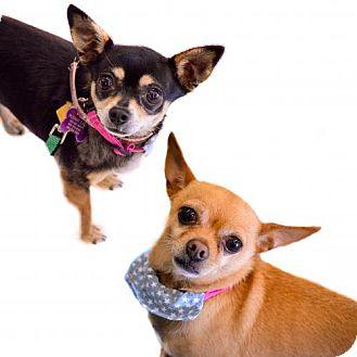 Chihuahua Dog for adoption in Mission viejo, California - Kimi & Chino