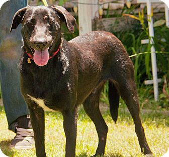 Labrador Retriever Mix Dog for adoption in Augusta, Maine - A - IKE