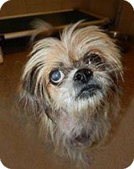 Shih Tzu Mix Dog for adoption in Providence, Rhode Island - Ridley in RI $299