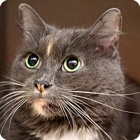 Domestic Longhair Cat for adoption in Sarasota, Florida - Torrie