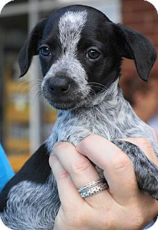Jack Russell Terrier/Chihuahua Mix Puppy for adoption in Holly Springs, North Carolina - Lottie