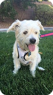 Maltese/Terrier (Unknown Type, Small) Mix Dog for adoption in Las Vegas, Nevada - Doris Day