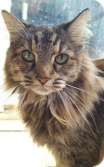 Domestic Longhair Cat for adoption in Salisbury, Massachusetts - Jambalaya