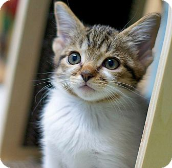 Domestic Shorthair Kitten for adoption in Troy, Michigan - Michaelangelo
