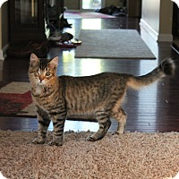 Domestic Mediumhair Cat for adoption in Ortonville, Michigan - Flynn