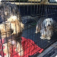 Adopt A Pet :: Chica - Newport, KY