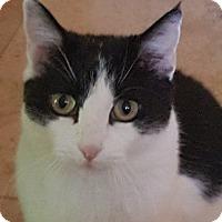 British Shorthair Cat for adoption in Phoenix, Arizona - Kookie Sprinkles