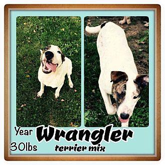 American Bulldog/Labrador Retriever Mix Dog for adoption in Ringwood, New Jersey - Wrangler