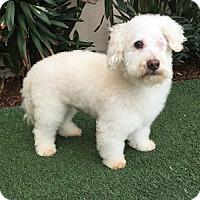 Bichon Frise/Poodle (Miniature) Mix Dog for adoption in Rancho Palos Verdes, California - Cotton