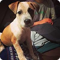Adopt A Pet :: Heinz! - New York, NY
