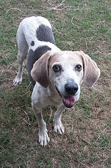 Treeing Walker Coonhound/Bluetick Coonhound Mix Dog for adoption in Orange Lake, Florida - Drake