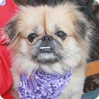 Pekingese Dog for adoption in Garfield Heights, Ohio - Jada-PENDING