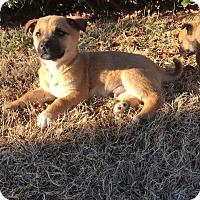 Adopt A Pet :: Hercules - oklahoma city, OK