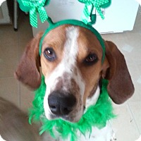 Treeing Walker Coonhound Dog for adoption in Lombard, Illinois - Sampson (great temperment)