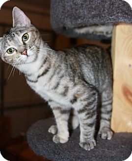 Domestic Shorthair Kitten for adoption in Phoenix, Arizona - Jesse