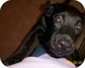 Boxer/Labrador Retriever Mix Puppy for adoption in Justin, Texas - Blackie