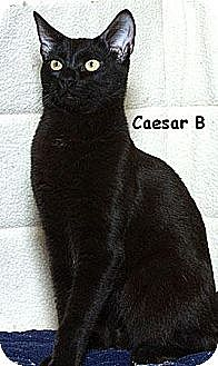 Domestic Shorthair Cat for adoption in Sacramento, California - Caesar B