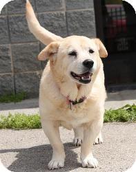 Basset Hound/Golden Retriever Mix Puppy for adoption in Staunton, Virginia - Janie (Perfect Pooch)