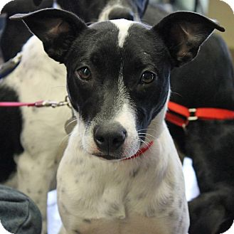 border collie jack russell terrier mix janet adopted puppy buffalo ny border collie jack 1873