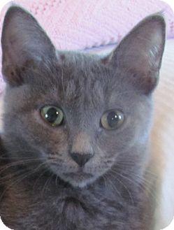 Ailynn | Adopted Kitten | Houston, TX | Russian Blue