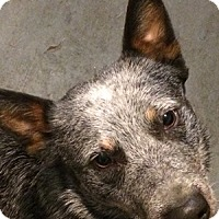 Australian Cattle Dog Dog for adoption in Remus, Michigan - Blazer is Pending