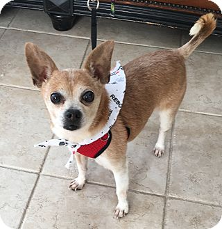 Chihuahua Mix Dog for adoption in Newtown, Connecticut - Louis