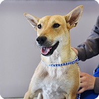 Basenji/Terrier (Unknown Type, Medium) Mix Dog for adoption in San Diego, California - Florence