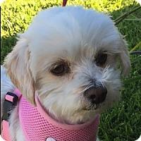 Adopt A Pet :: Lindy - La Costa, CA