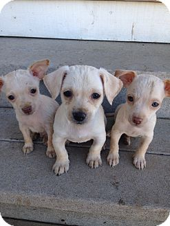 Chihuahua Mix Puppy for adoption in Tehachapi, California - Joey, Kinky, Gumby