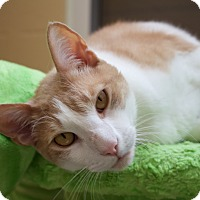 Domestic Shorthair Cat for adoption in Chula Vista, California - Pumpkin