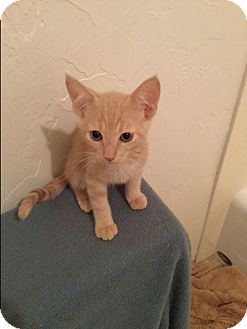 Domestic Shorthair Kitten for adoption in Prescott, Arizona - Calvin