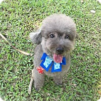 Poodle (Miniature) Dog for adoption in Vancouver, British Columbia - Fazal