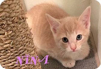 Domestic Shorthair Kitten for adoption in Mooresville, North Carolina - NINA