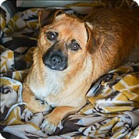 Chihuahua Mix Dog for adoption in Vallejo, California - Bosley
