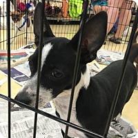 Chihuahua/Dachshund Mix Dog for adoption in West Palm Beach, Florida - Winkie