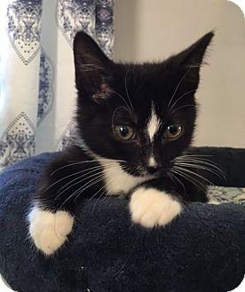 Domestic Shorthair Kitten for adoption in Wayne, New Jersey - Elliott