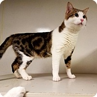 Domestic Shorthair Cat for adoption in Indianola, Iowa - C-7