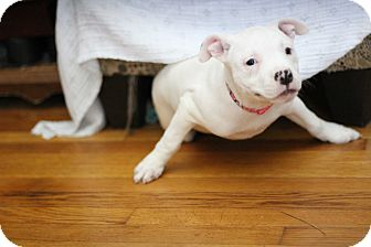 Pit Bull Terrier Mix Puppy for adoption in Millersville, Maryland - Tyche