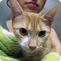 Adopt A Pet :: Stevie is a Sweetie!!Sweet Wee Orange! - Brooklyn, NY