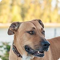 Adopt A Pet :: Big Dog (foster) - Portland, OR
