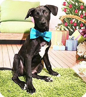 Labrador Retriever Mix Puppy for adoption in Castro Valley, California - Kevin