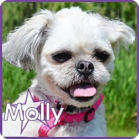 Shih Tzu Dog for adoption in Excelsior, Minnesota - Molly II