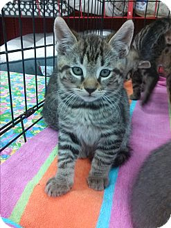 Domestic Shorthair Kitten for adoption in Alamo, California - Snuggles