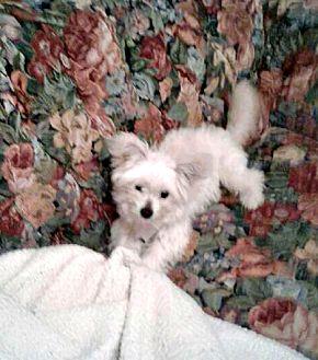 Yorkie, Yorkshire Terrier/Westie, West Highland White Terrier Mix Dog for adoption in Modesto, California - Larry